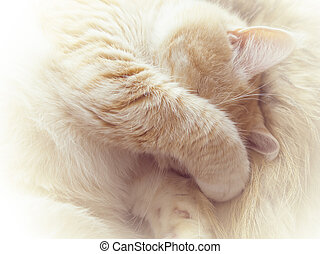 Beautiful cream cat lies covering the face with a paw, close-up