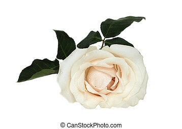 Beautiful creamy white rose isolated on white