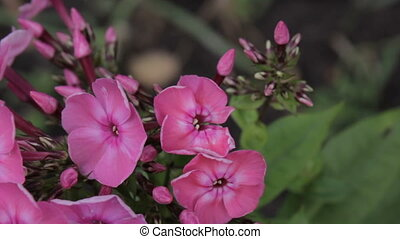 Beautiful Crimson Phlox Blooming in Springtime and Swinging...