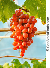 Beautiful Crimson seedless grapes on a vine in the vineyard