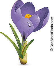 Crocus - Beautiful Crocus isolated on white. EPS 8, AI, JPEG...