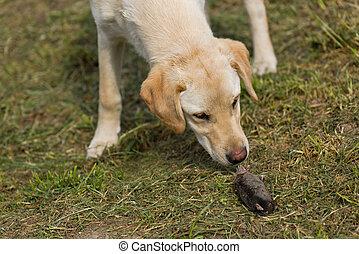 Golden Labrador Retriever Puppy Sniffing Dead Mole
