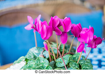 Beautiful cyclamen plant