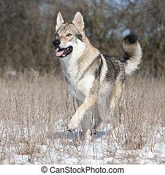 Beautiful Czechoslovakian wolfdog running in winter