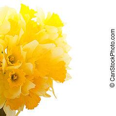 Beautiful Daffodils Border