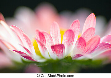Beautiful daisies. Floral background. Shallow focus.