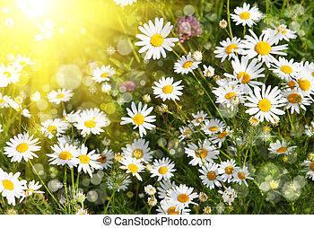 Beautiful daisies illuminated by the sun