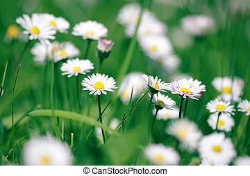 Beautiful daisies in spring green grass