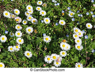 daisies in the middle of the green lawn in spring