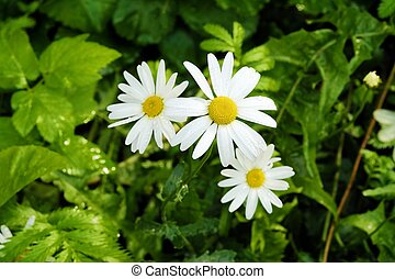 Beautiful daisies in the summer garden