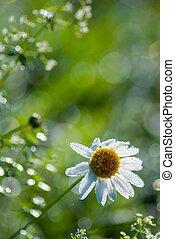 beautiful daisy at morning time