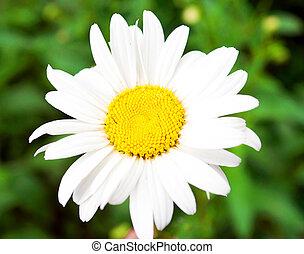 Beautiful daisy flower macro shot