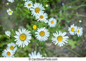 Beautiful daisy flowers in the garden