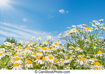 Beautiful daisy flowers on the meadow at day time.