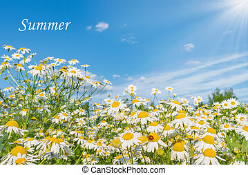 Beautiful daisy flowers on the meadow.