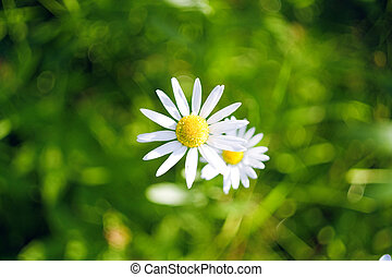 Beautiful daisy on the grass background
