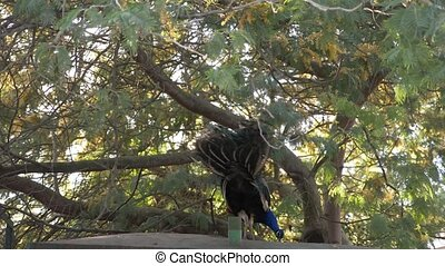 beautiful dancing peacock. aviary with peacocks in the...
