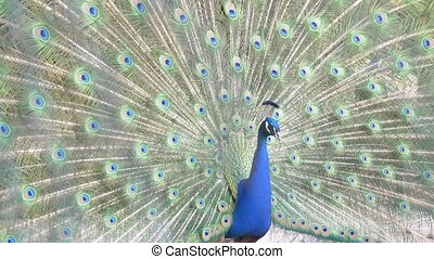 beautiful dancing peacock. close-up, view through the fence on the tail of a peacock during a wedding dance. 4k, slow-motion,