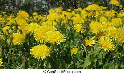Beautiful dandelions in the garden, park. Slow motion.