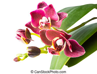 beautiful dark-cherry mini orchid is isolated on the white background