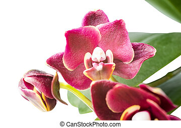 beautiful dark-cherry orchid is isolated on the white background