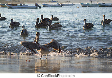 Beautiful, dark pelicans in the water at sunset