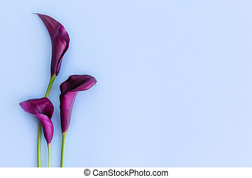 Beautiful dark purple Calla Lilies flowers on a light blue background.