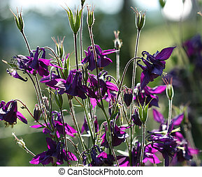 Aquilegia vulgaris - Beautiful dark purple wild Aquilegia...