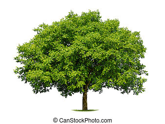 Beautiful deciduous tree on white - Beautiful fresh green...
