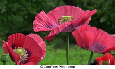 Beautiful decorative red poppy blossoms in wind