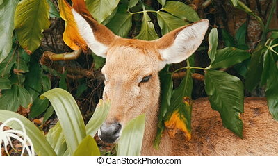 Beautiful deer sitting in green bush close up view. Hand...