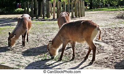 Beautiful deers feeding at summer meadow - Herd of deers...