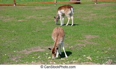 Beautiful deers feeding at summer meadow - Two spotted deer...