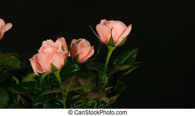 Beautiful delicate fresh blooming rosebuds in a flower pot...