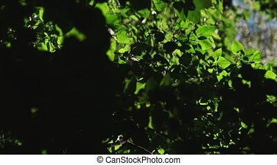 Beautiful dense bright green leaves of a lilac bush in backlight.