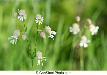 Beautiful dewy flowers of the Bladder Campion, a horizontal ...