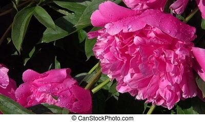 beautiful dewy peony flowers