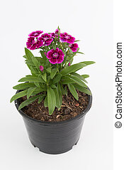 Beautiful Dianthus Chinensis Flowers in black plastic flower pot isolated on white background