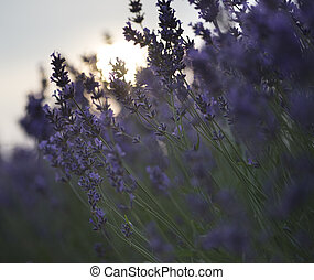 Beautiful differential focus technique giving shallow depth of field blurred bokeh sun effect in lavender landscape