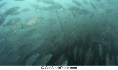 Beautiful directional movement by a school of fish - An...