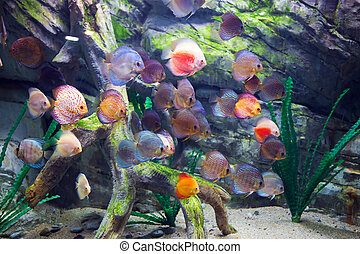 Beautiful discus fishes in water - school of beautiful...
