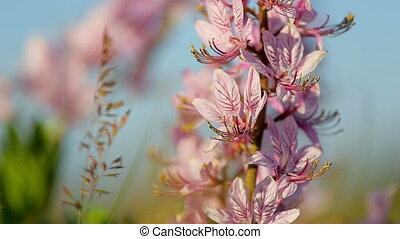 Beautiful dittany flowers in the springtime (Dictamnus...