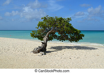 Beautiful Divi Divi Tree on Eagle Beach