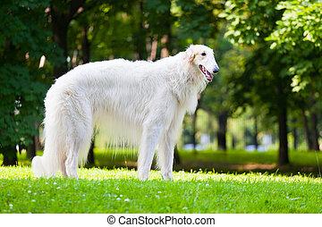 Beautiful dog breed Russian Borzoi standing on the grass lit...