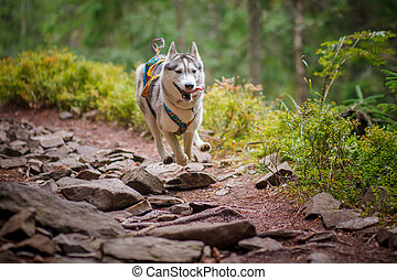 Beautiful dog breed Siberian husky in the forest