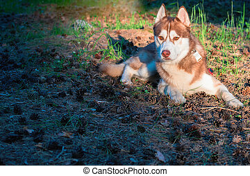 Beautiful dog lying on ground in the park. Brown Siberian husky lies on fallen pine needle in warm evening rays, looking forward.