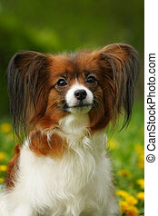 beautiful dog of breed Papillon