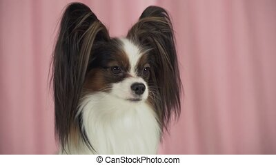 Beautiful dog Papillon close up barks stock footage video -...