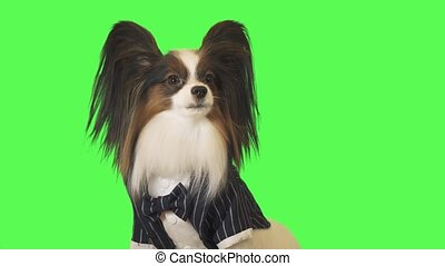Beautiful dog Papillon in a business suit with bow tie is talking to the camera on green background stock footage video