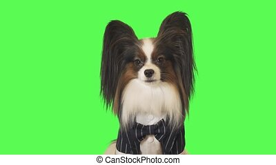 Beautiful dog Papillon in business suit with a bow tie is looking intently at the camera on green background stock footage video